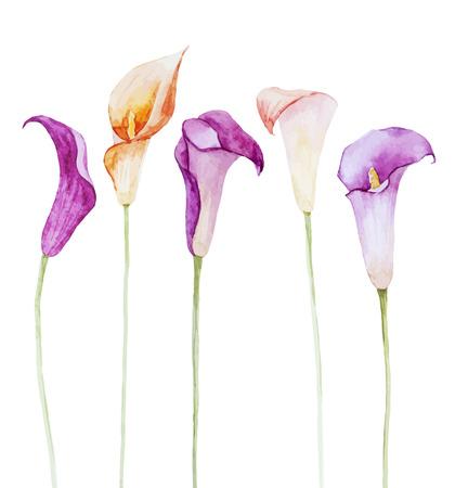 white lily: Imagen hermosa del vector con las flores de cala bonita acuarela