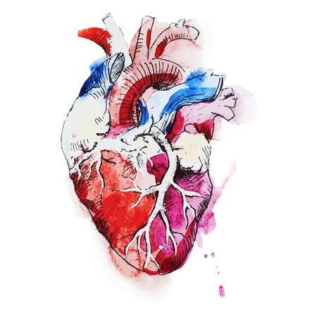 anatomie humaine: Belle image vectorielle avec une belle aquarelle c?ur humain Illustration