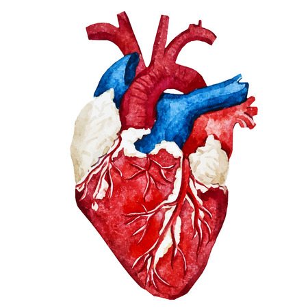 human heart: Imagen hermosa del vector con buen acuarela corazón humano