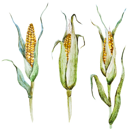 corncob: Beautiful image with nice watercolor corn Illustration