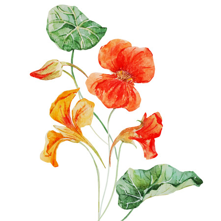 Beautiful vector image with nice watercolor nasturtium flower