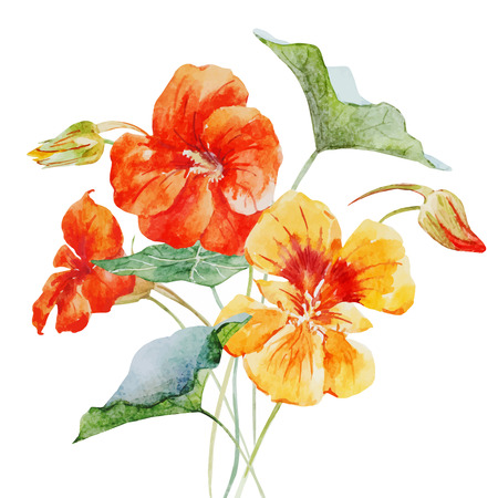Beautiful vector image with nice watercolor nasturtium flower