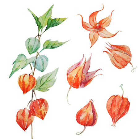 autumn colors: Beautiful vector isolated image with watercolor physalis flower