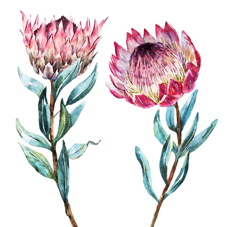 Beautiful vector image with nice watercolor tropical flower protea Ilustração