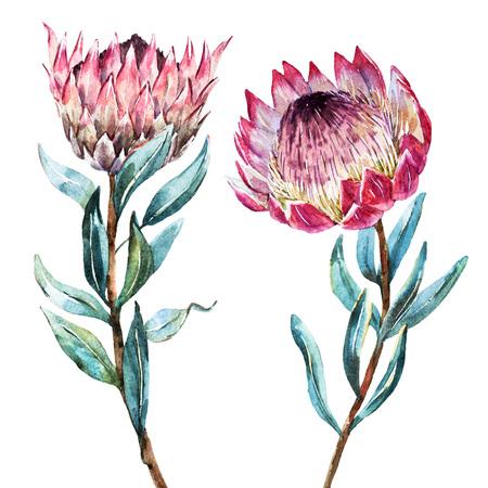 Prachtige vector afbeelding met mooie waterverf tropische bloem protea Stock Illustratie
