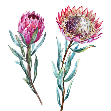Beautiful vector image with nice watercolor tropical flower protea Illustration