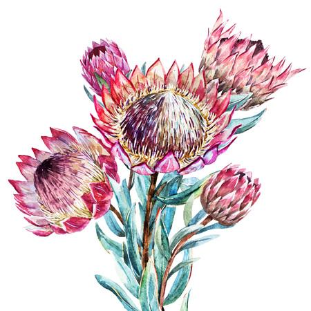 좋은 수채화 열대의 꽃 프로 테아와 함께 아름 다운 벡터 이미지