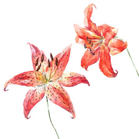Belle image vectorielle avec de belles fleurs de lys d'aquarelle dessinés à la main