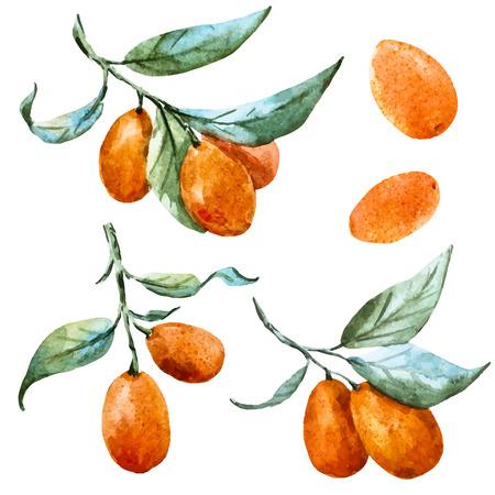 feuille arbre: Belle image vectorielle avec une belle aquarelle de mandarine dessiné à la main Illustration
