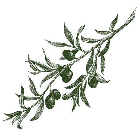 albero da frutto: Bella immagine vettoriale con bella disegnata a mano ramo d'ulivo