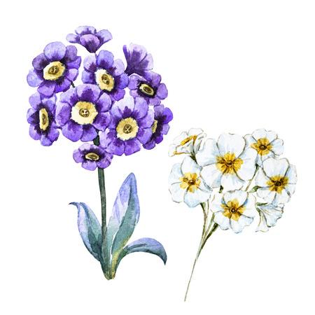 primrose: Beautiful raster image with nicehand drawn watercolor flowers