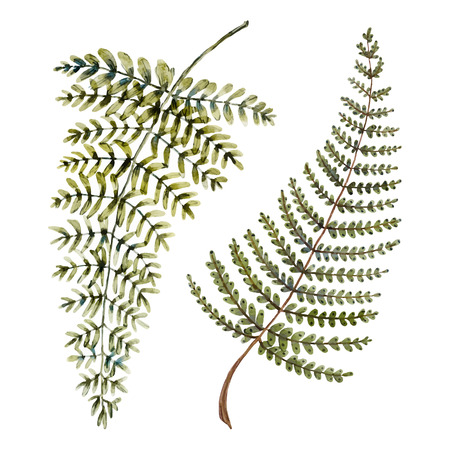 fern: Isolated beautiful watercolor hand drawn fern leaves