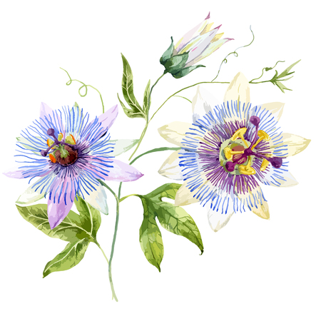 Beautiful image with nice watercolor passion flower Иллюстрация