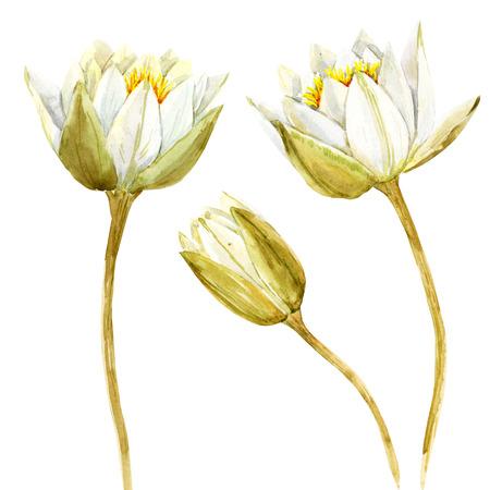 lotus flowers: Beautiful image with nice watercolor lotus flowers