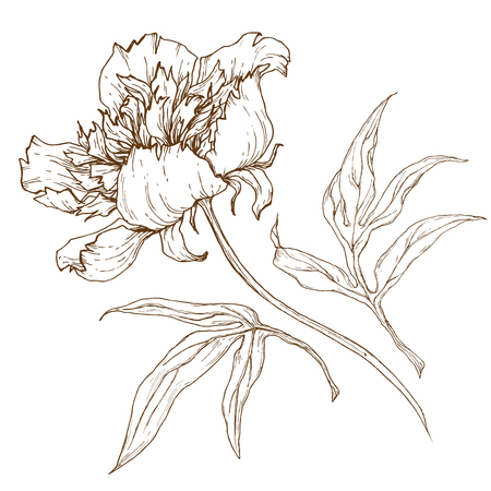 pion: Beautiful image with nice graphic pion flower Illustration