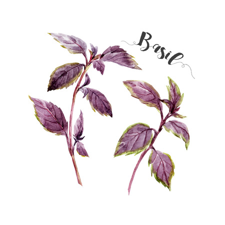 basil leaf: Beautiful image with nice watercolor hand drawn basil