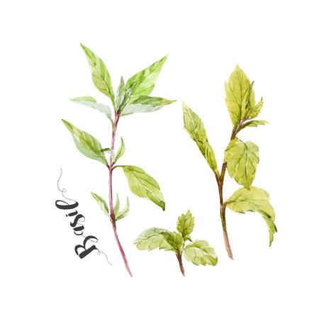 basil leaf: Beautiful image with nice watercolor hand drawn basil