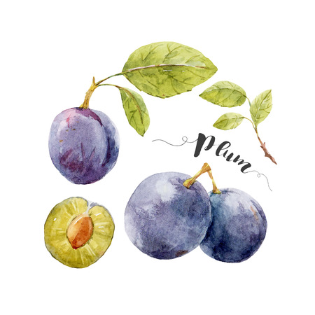 plums: Beautiful image with nice watercolor hand drawn plums