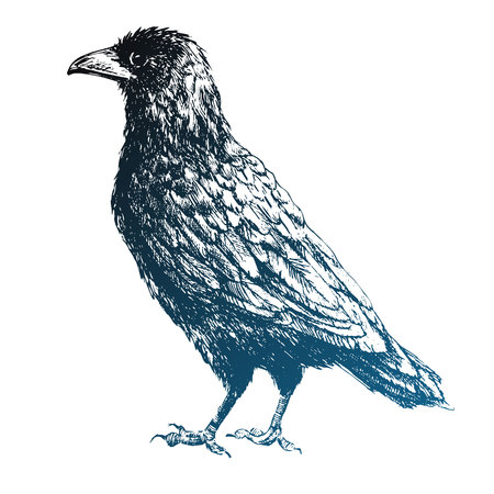 black raven: Beautiful vector image with black raven bird