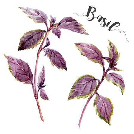 basil: Beautiful image with nice watercolor hand drawn basil