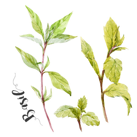 basil: Beautiful image with nice watercolor hand drawn basil