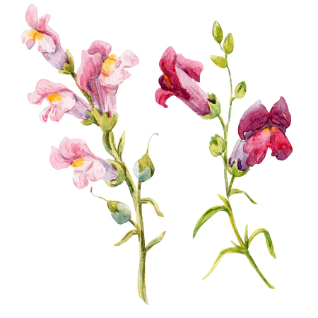 snapdragon: Watercolor hand drawn two pink snapdragon flowers