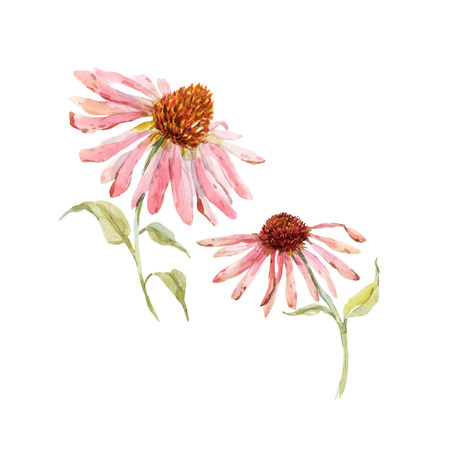 Beautiful vector with watercolor pink echinacea flower