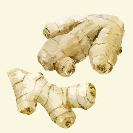 Imagen hermosa del vector con el jengibre dibujado a mano de acuarela