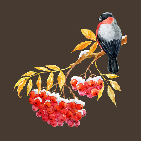 snow cardinal: Beautiful image with nice bullfinch on the branch of ashberry