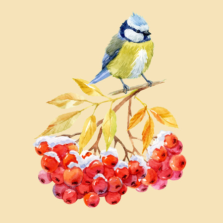 chickadee: Beautiful image with nice watercolor titmouse bird and ashberry Illustration