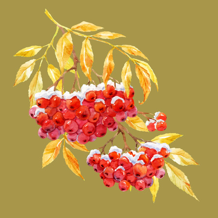 red berries: Beautiful image with watercolor hand drawn branch of rowan