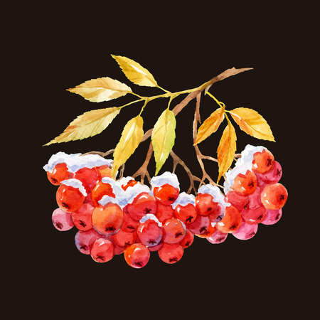 ashberry: Beautiful image with watercolor hand drawn branch of ashberry Illustration
