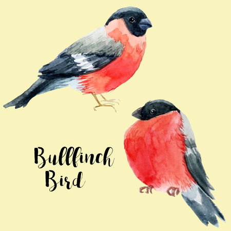 snow cardinal: Beautiful image with nice watercolor hand drawn bullfinch Illustration