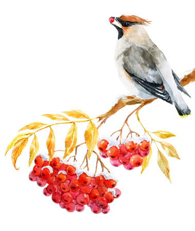Beautiful image with nice watercolor waxwing bird and ashberry