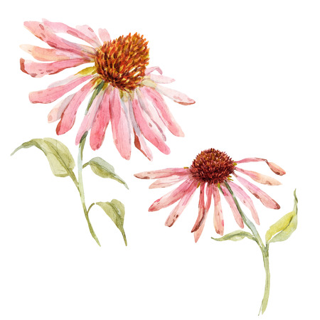 echinacea: Beautiful image with watercolor pink echinacea flower Stock Photo