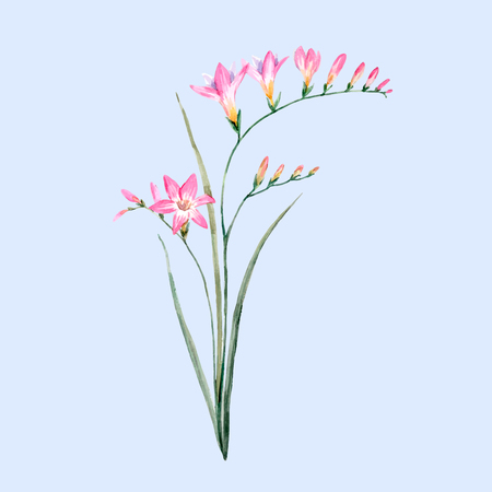 vector art: Watercolor pink freesia flower