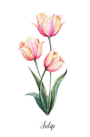 Watercolor pink-yellow tulip flower