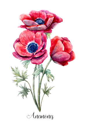 botanical gardens: Watercolor red anemone flower
