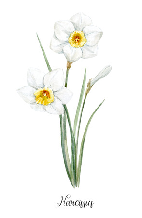 Watercolor white daffodil flower