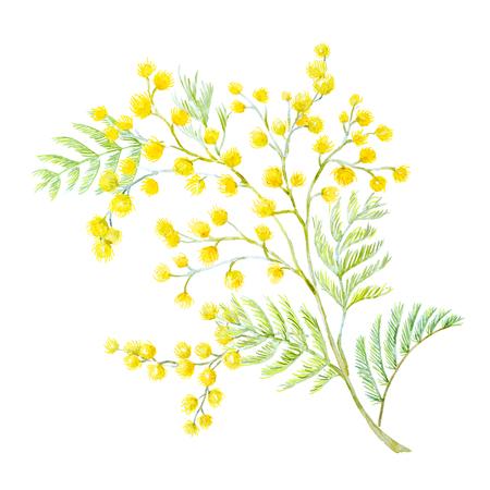Watercolor mimosa flowers Standard-Bild