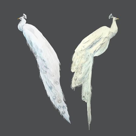 Weiße Pfauen des Aquarellvektors