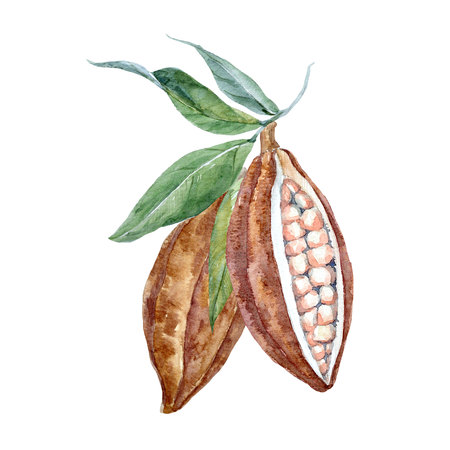 Watercolor cacao fruits Stock Photo