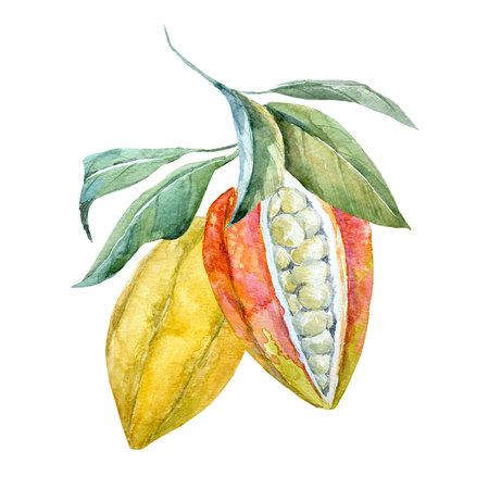 Aquarel cacaovruchten