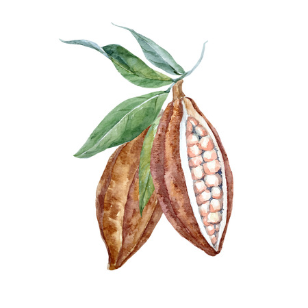 Beautiful vector illustration with watercolor hand drawn cacao fruits