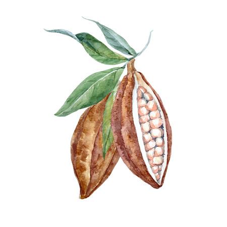 Ilustración de vector hermosa con acuarela dibujado a mano frutas de cacao Foto de archivo - 80192982
