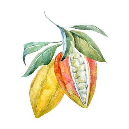 Acuarela vector frutos de cacao Foto de archivo - 80192992