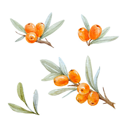 Watercolor sea buckthorn Banco de Imagens