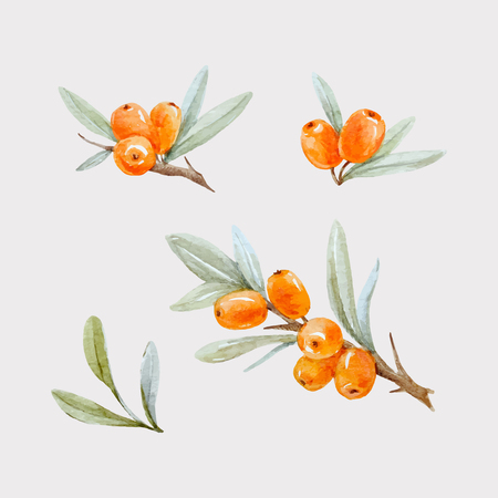 Beautiful watercolor vector illustration of sea buckthorn berries with leaves on transparent background