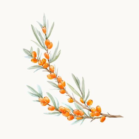 Illustration vectorielle belle aquarelle de baies d'argousier avec des feuilles sur fond transparent