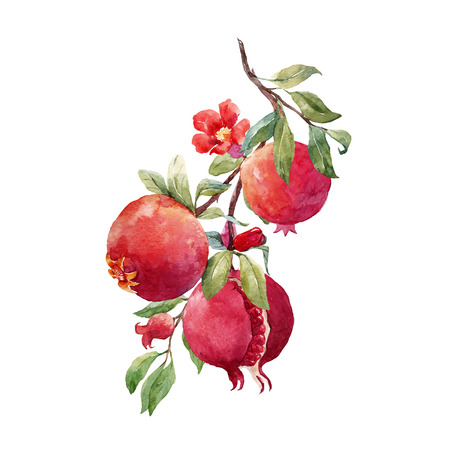 Beautiful vector illustration of nice hand drawn watercolor pomegranate fruit branch on transparent background